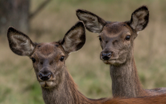 Two red deer heads photo