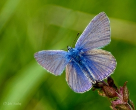 Common blue - Blauwtje natuurfotografie