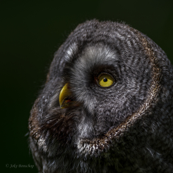 Great grey owl nature photography