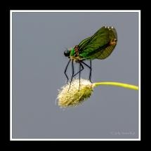 Damselfly - Juffer Libelle