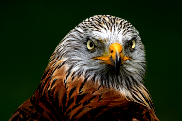 Red kite - Rode wouw photograpy