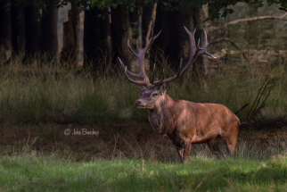 Red deer stag - Edelhert
