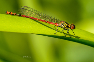 Large red damselfly - Vuurjuffer