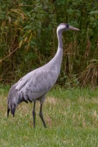 Een kraanvogel