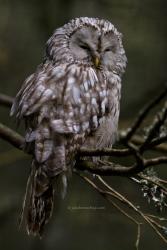 Ural owl - Oeraluil