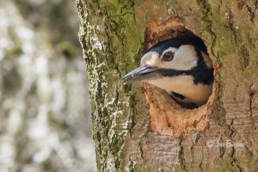 Woodpecker - Specht