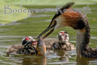 Bodegraven-Reeuwijk kleine fuut eet visje