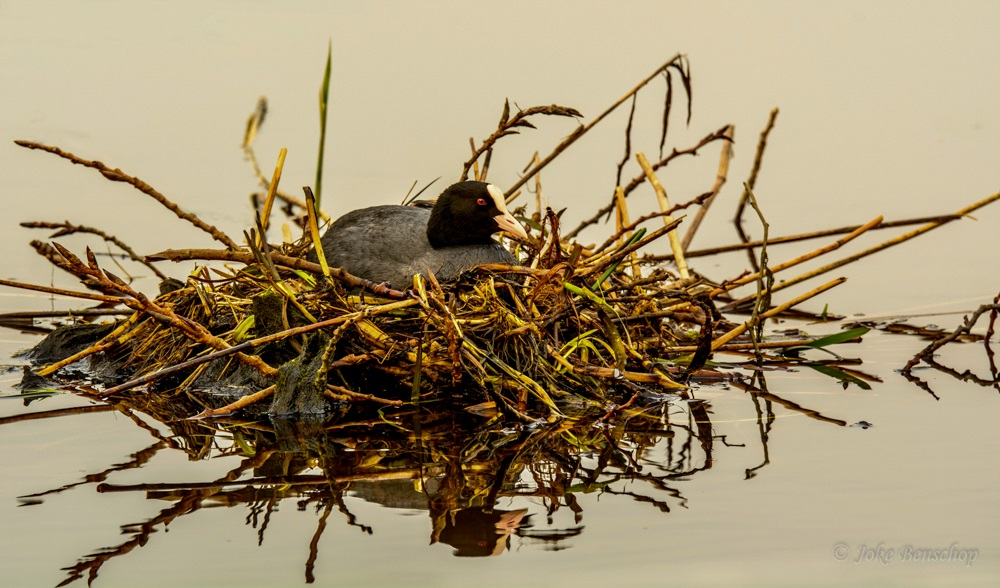 Lente........ meerkoet op het nest als een koningin in Bodegraven-Reeuwijk