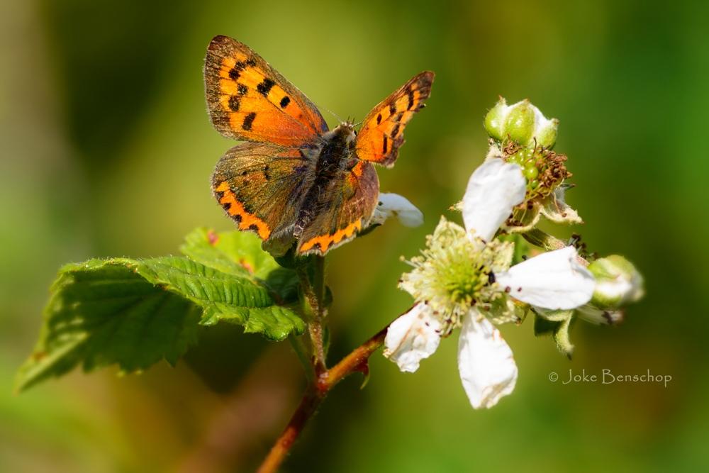 Vlinder in een braamstruik in Bodegraven-Reeuwijk