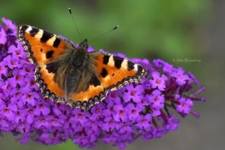 Atalanta butterfly - Atatlanta vlinder