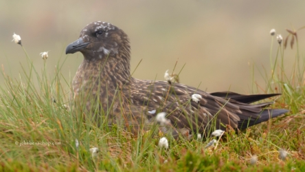 Great skua - Grote jager