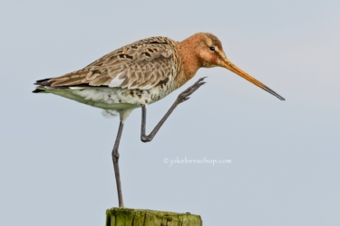 Black-tailed godwit - Grutto