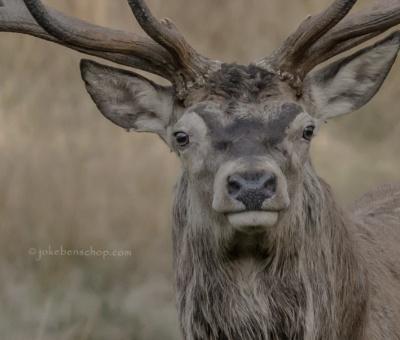 Deers – Herten
