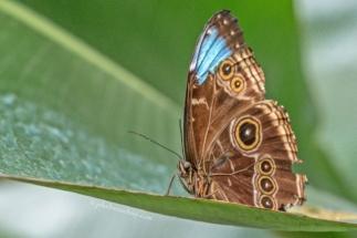 Vlinder met blauw