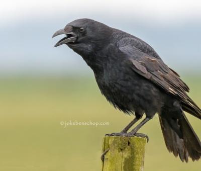 Birds – Vogels