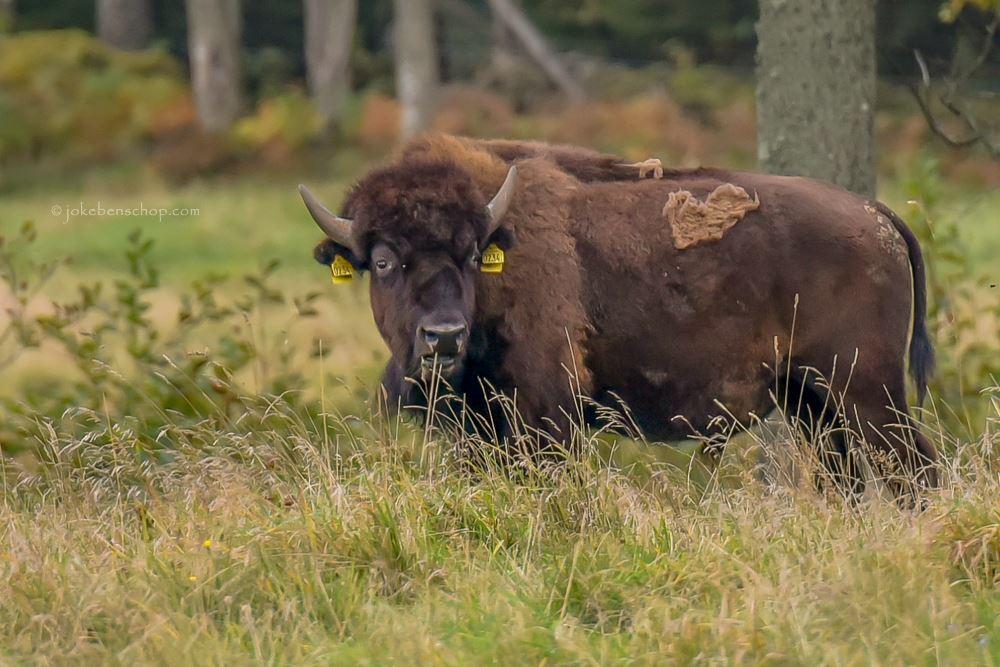 Ruige bizons