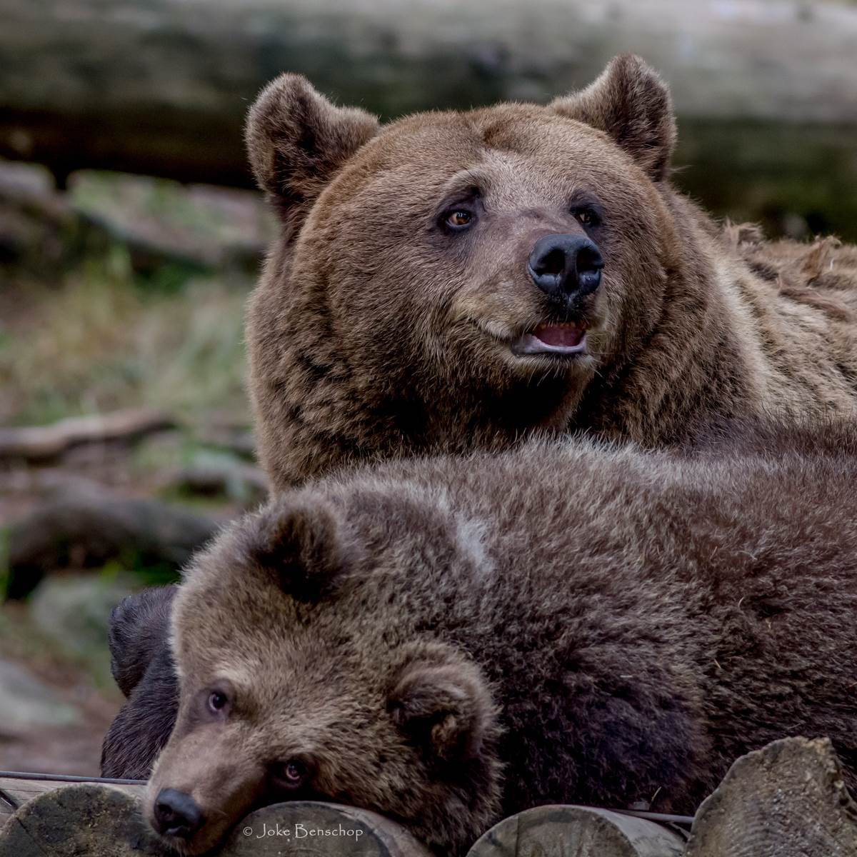 Järvsö Zoo Sweden de bruine beren