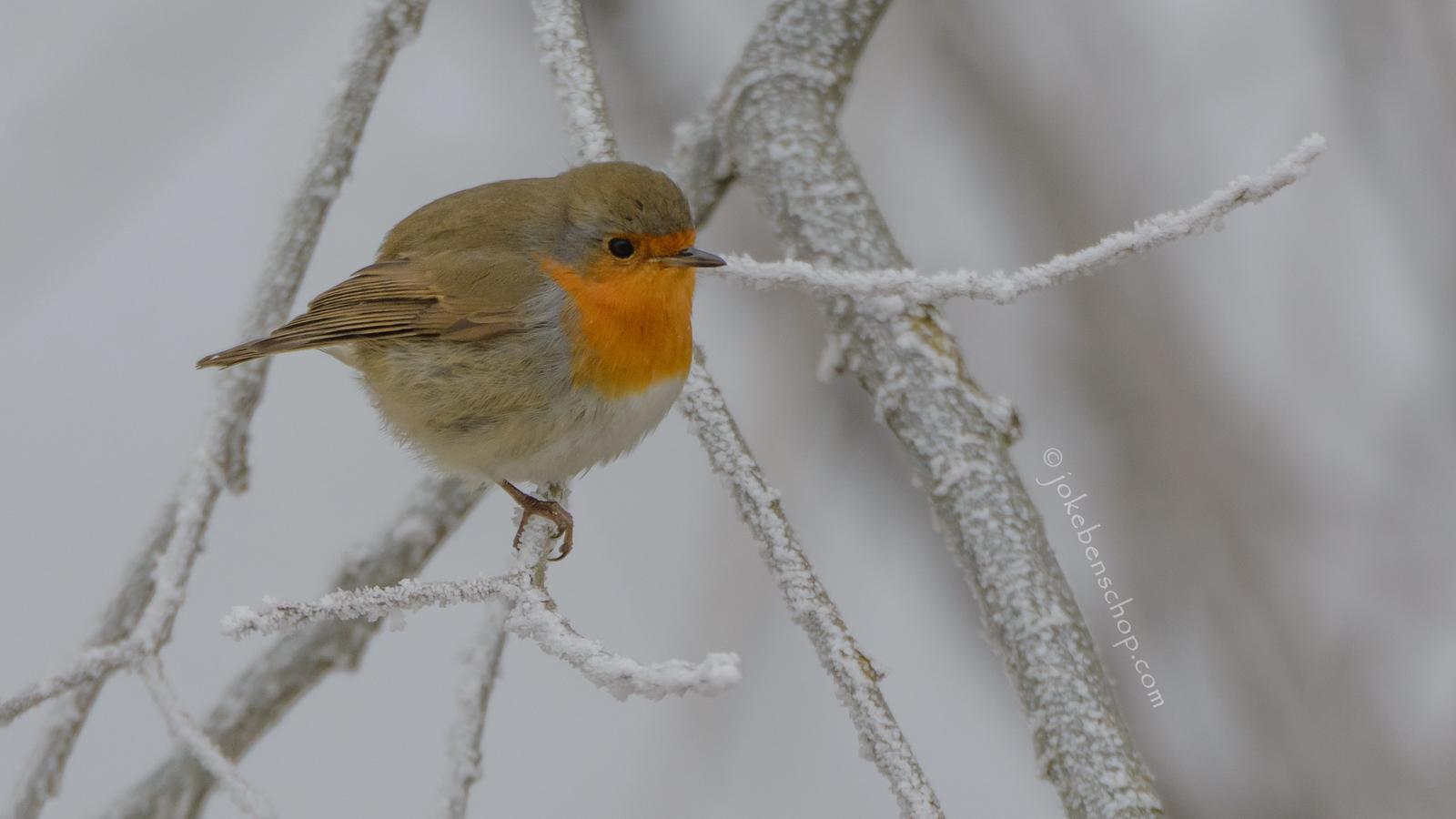 Roodborst in de winter