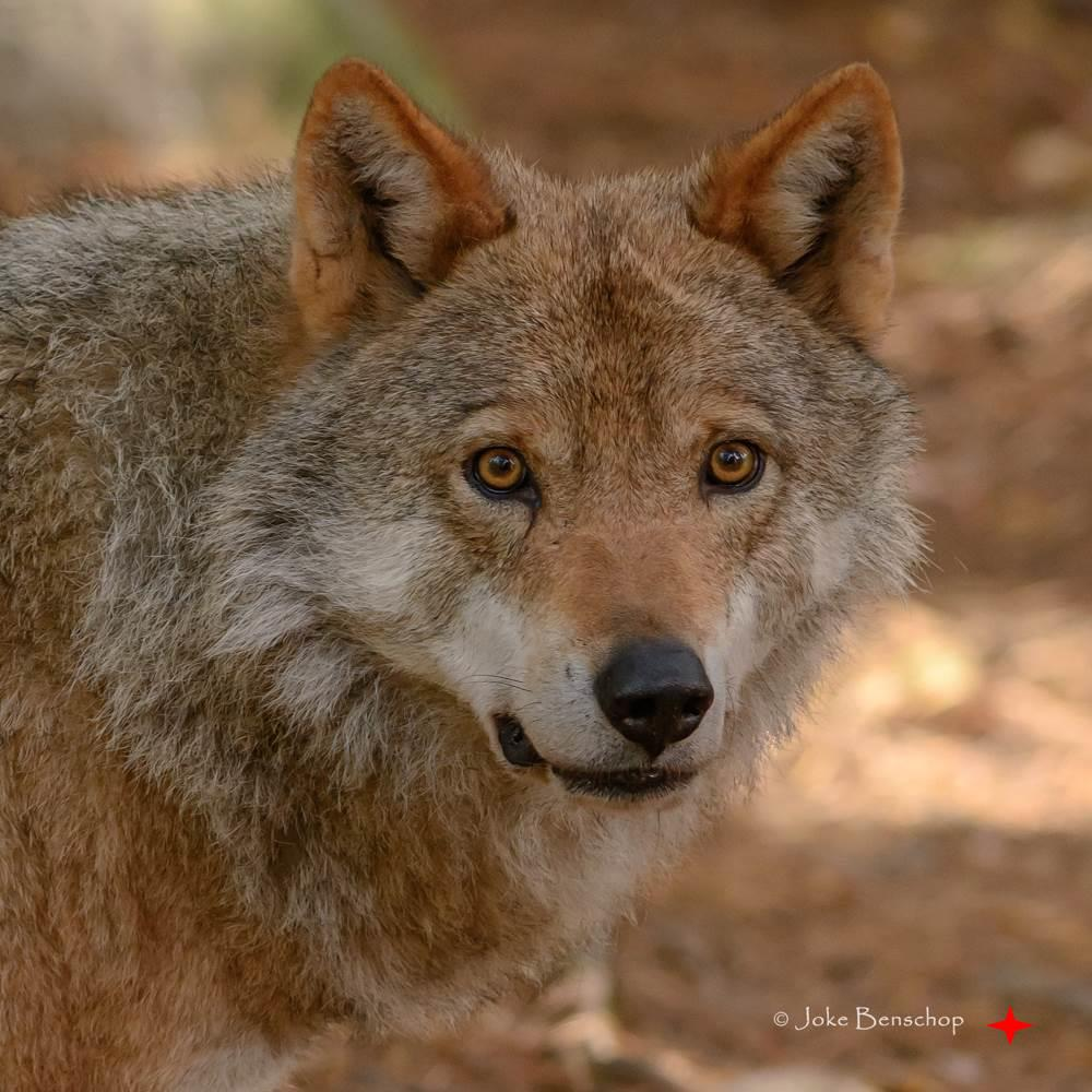 Järvsö Zoo Sweden de Wolf