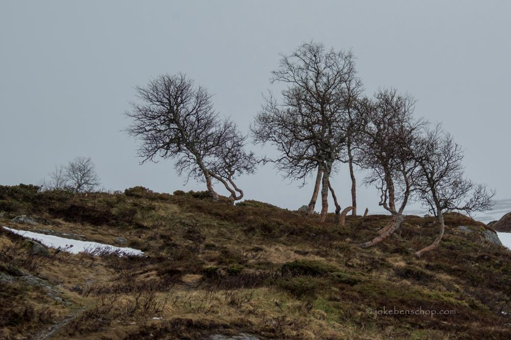 Berkenbomen op de vlakte