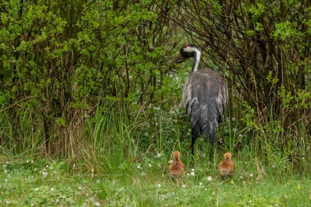 Een kraanvogel met kuikens