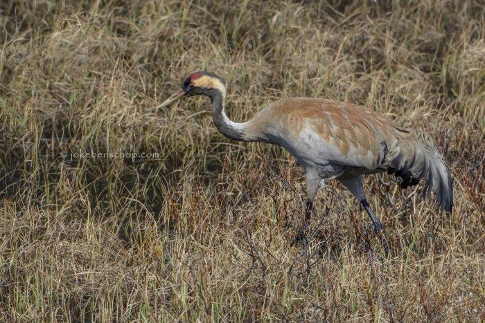 Gecamoufleerde kraanvogel