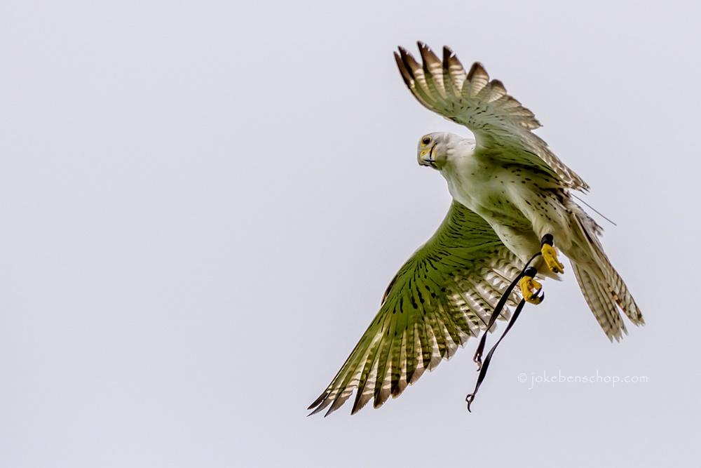 Vliegende gier valk