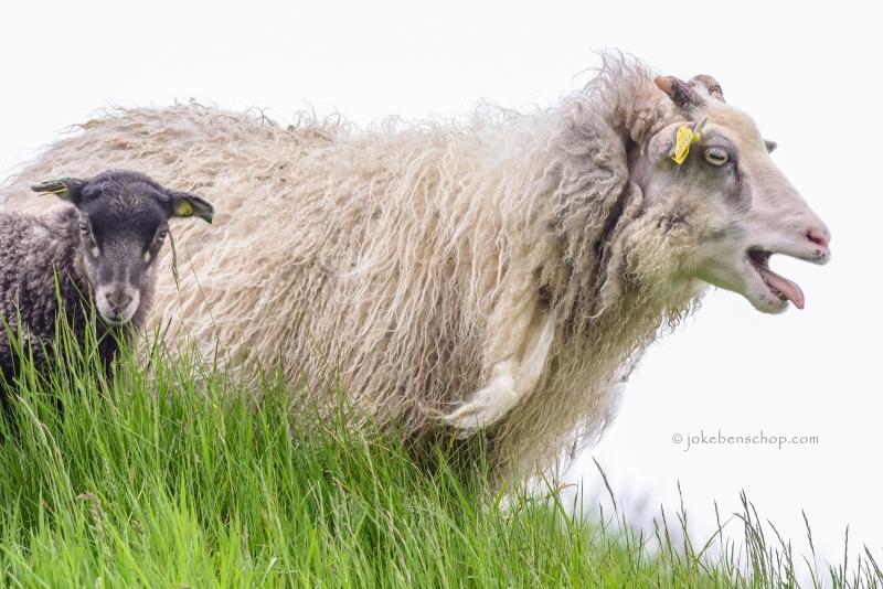 Lawaai makend schaap met lam