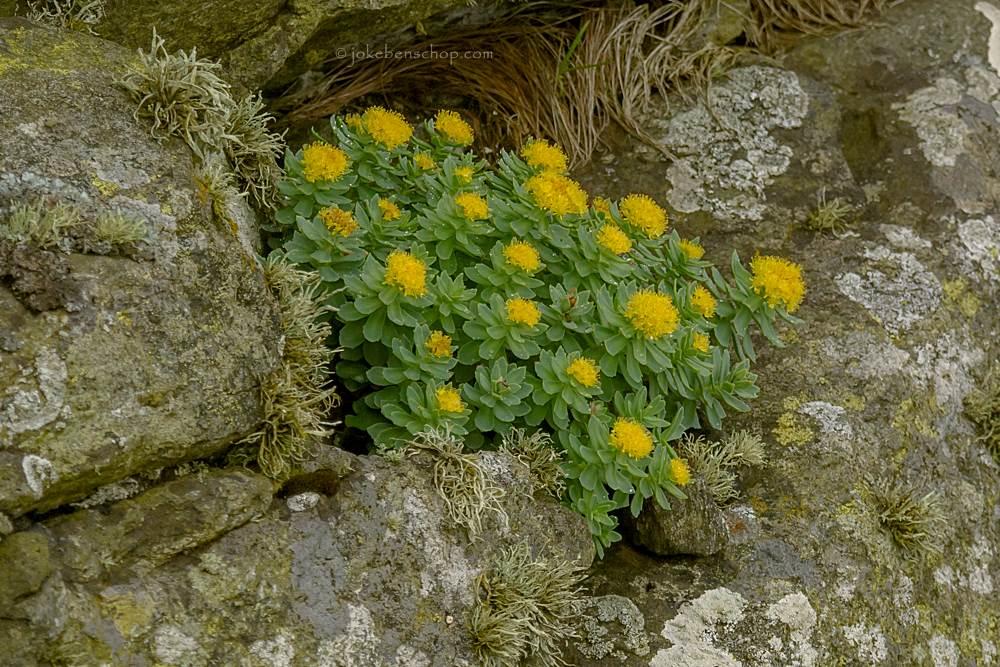 Mooie gele bloemetjes