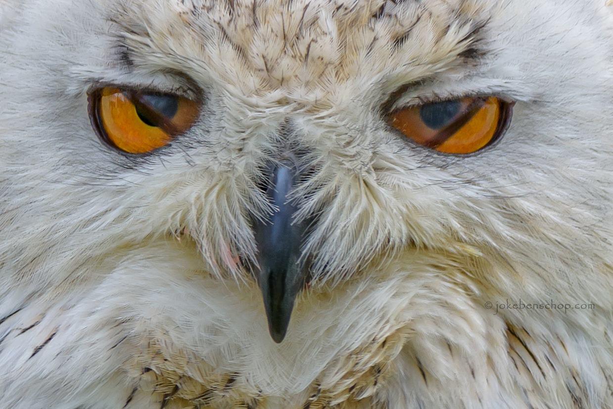 Siberische uil knippert met de ogen