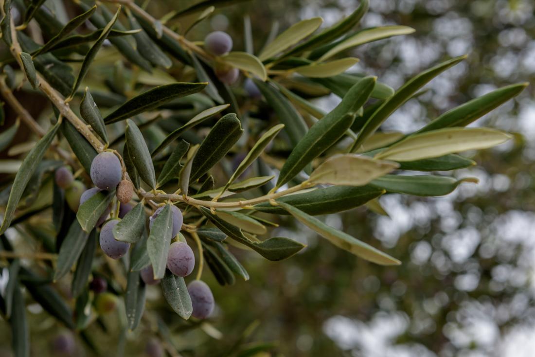 Olijftak met olijven Lesbos Greece