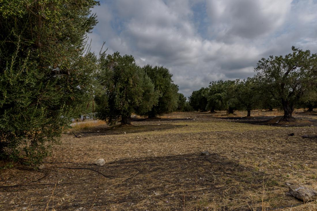 Oogst netten voor de olijven Lesbos Greece
