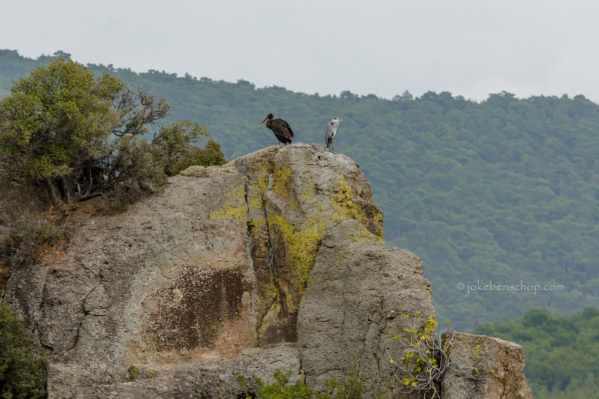 Zwarte ooievaar en blauwe reiger gezamenlijk op een rots