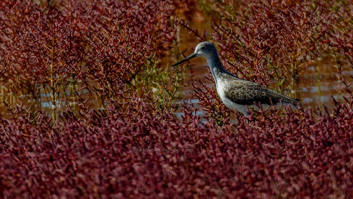 Groenpootruiter in het zeekraal