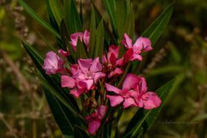 de Oleander in het wild