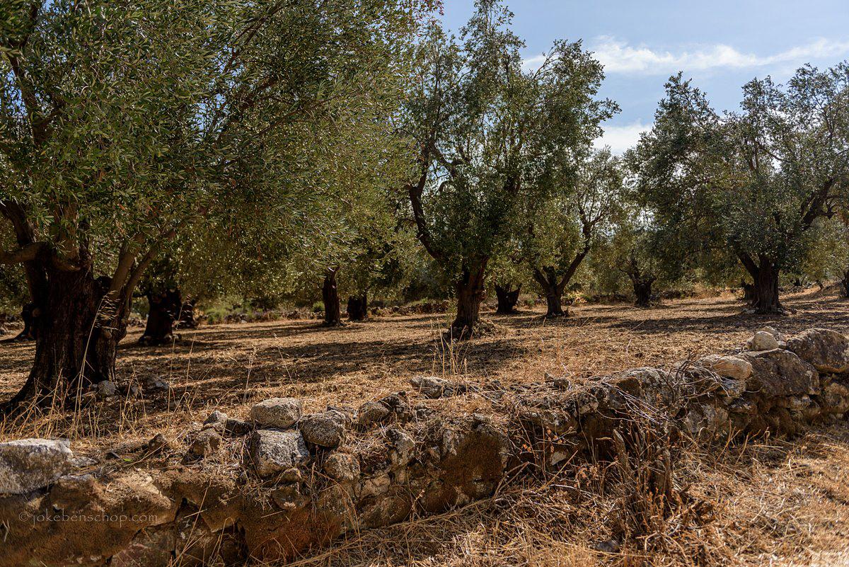 Oneindige olijfboomgaarden langs de kust richting Polichnitou