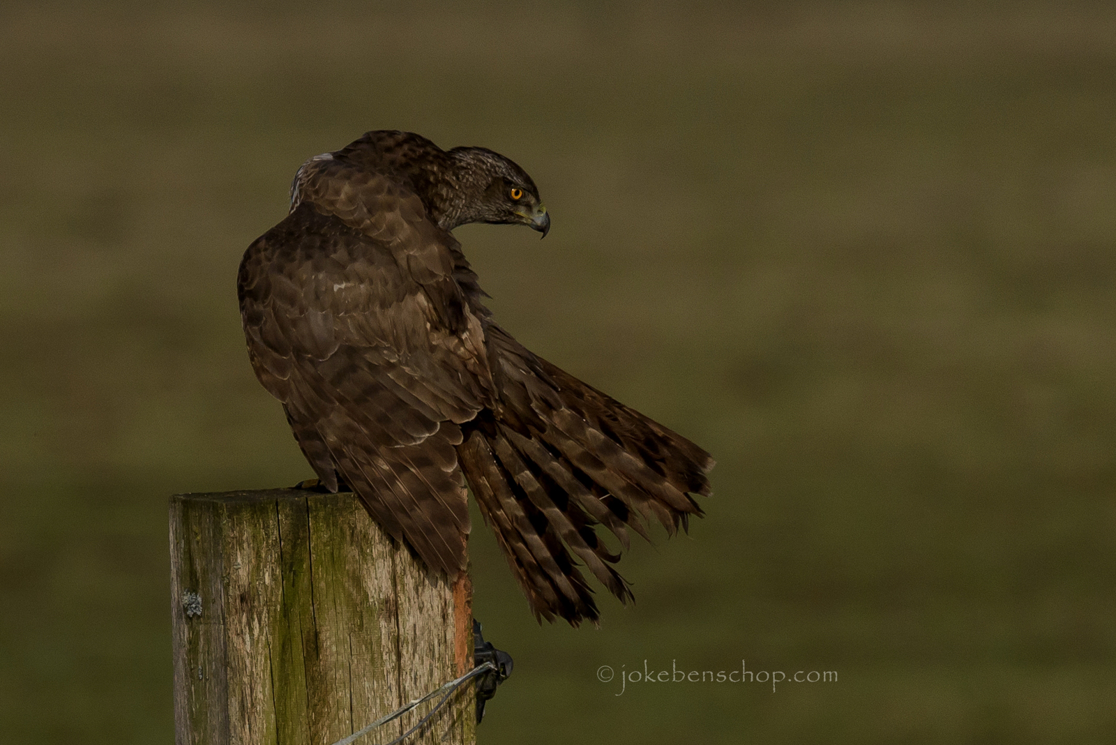 Hawk - Havik