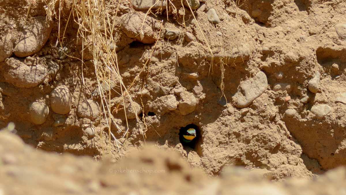 Bijeneter verlaat nest