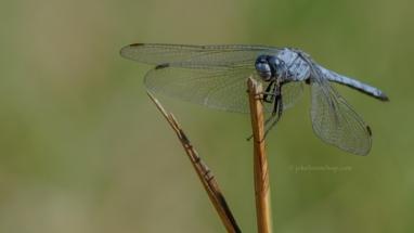 Grote blauwe libelle