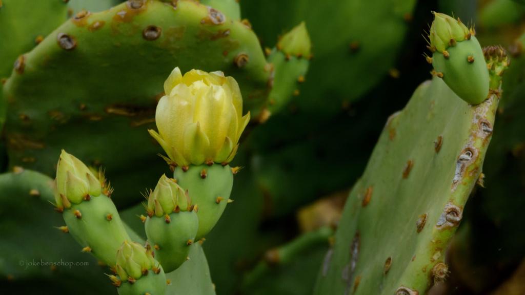 Cactus met bloem